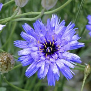 Catananche caerulea – Lot de 3 godets de 7 cm