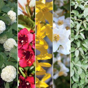 Kit de haie multicolore pour 10m – 10 arbustes de 30 à 40 cm en pot de 2/3L – PLANTES ET JARDINS – Jardinerie en ligne