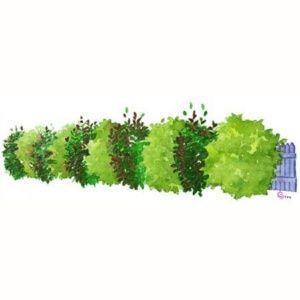 Kit de Haie Persistante rouge et verte pour 10 m – 10 pots de 2 à 4 litres – PLANTES ET JARDINS – Jardinerie en ligne