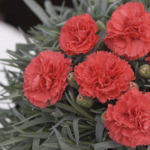 Dianthus plumarius diane – Lot de 3 godets de 7 cm