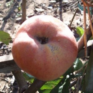 Pommier 'Sans pareil de Peasgood' : taille en gobelet