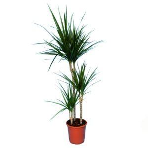 Dracaena Bicolor 3 cannes- En pot de 21cm , hauteur 120cm