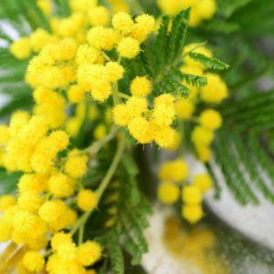 Mimosa d'hiver Le Gaulois pot de 4 litres