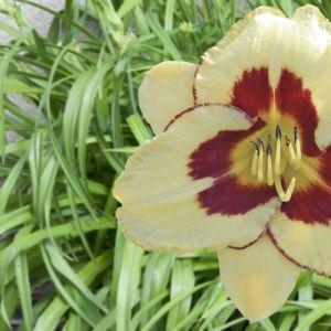 Hemerocallis el desperado  – En pot de 14 cm