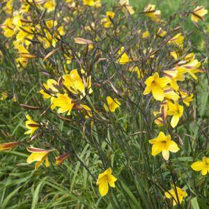 Hemerocallis corky jaune – Lot de 3 godets de 7 cm