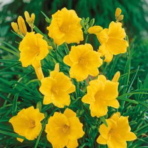 Hemerocallis 'Stella De Oro' (Hemerocallis 'Stella De Oro')