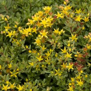 Sedum floriferum weihenstephaner gold – Lot de 3 godets de 7 cm