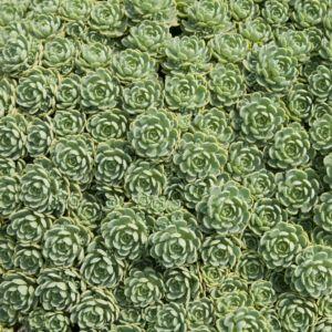 Sedum pachyclados – Lot de 3 godets de 7 cm