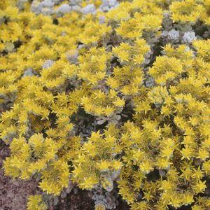 Sedum spathulifolium cape blanco – Lot de 3 godets de 7 cm