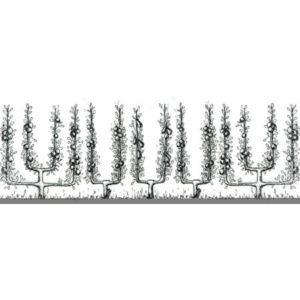 Haie 3 pommiers en simple U + 2 poiriers en palmette verrier – PLANTES ET JARDINS – Jardinerie en ligne