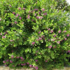 Polygala myrtifolia – Pot 3 litres, H30/40cm