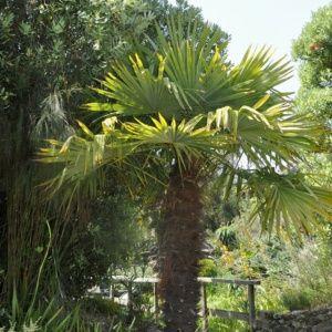 Palmier à chanvre – Trachycarpus fortunei – Pot de 3 litres, hauteur 30/40 cm – PLANTES ET JARDINS – Jardinerie en ligne