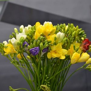 Freesias variés (lot de 15) (Freesia)