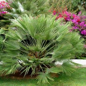 cultiver un palmier en pot le magazine gamm vert. Black Bedroom Furniture Sets. Home Design Ideas