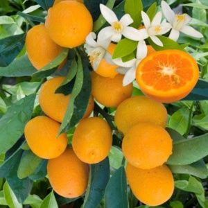 Kumquat (Fortunella) – Pot de 3 litres 1/4 de tige hauteur 40 cm – PLANTES ET JARDINS – Jardinerie en ligne