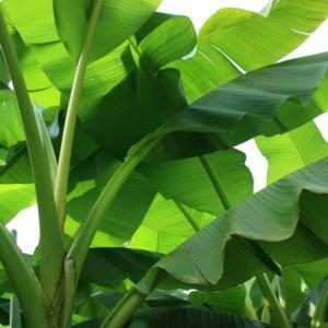 Bananier rustique (Musa basjoo)