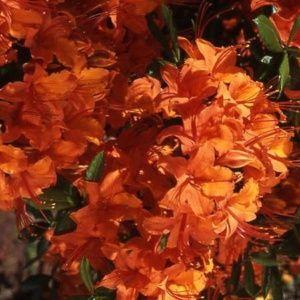Azalée de Chine 'Coccinea speciosa' (Rhododendron x Gand 'Coccinea speciosa')