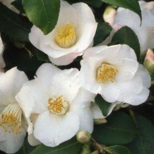 Camélia champêtre 'Quintessence' – Pot de 2 litres, hauteur 20/30 cm, 3 ans d'âge – PLANTES ET JARDINS – Jardinerie en ligne