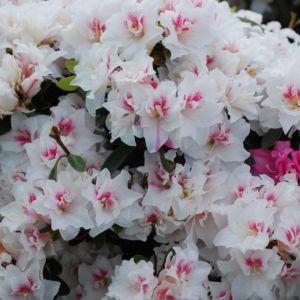 Azalée japonaise 'White Prince' – pot de 3 litres
