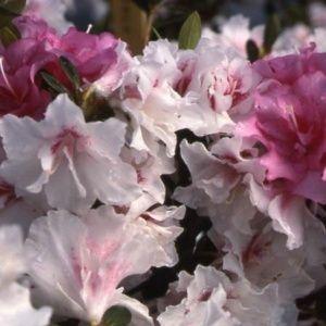 Azalée japonaise 'White Prince' (Rhododendron x 'White Prince')