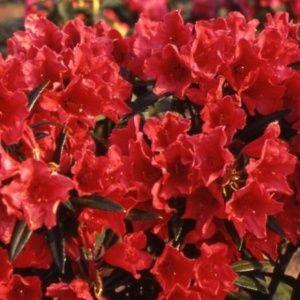 Rhododendron 'Cavalier' – pot de 5 litres, hauteur 30/50cm, 3 ans d'âge