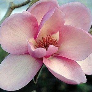 Magnolia 'Iolanthe' – Pot de 10 litres, hauteur 80/100 cm, 4/5 ans d'âge