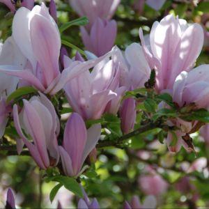 Magnolia 'George H. Kern'