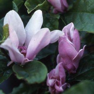 Magnolia 'George H. Kern' – Pot de 5 litres, hauteur 40/60 cm, 3/4 ans d'âge.