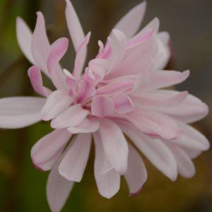 Magnolia stellata 'Rosea' – Pot de 10 litres