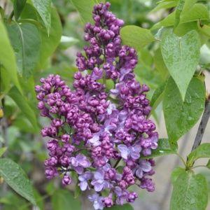 Lilas 'Prince wolkonski' (syringa vulgaris) – Pot de 5 litres, hauteur 40/60 cm