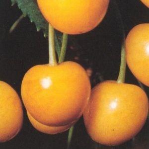 Cerisier Jaune de Buttner: taille en gobelet (Prunus avium 'Jaune de Butner')
