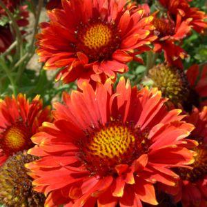 Gaillardia bourgogne – Lot de 3 godets de 7 cm
