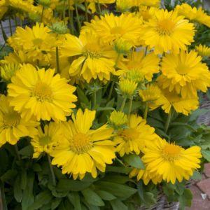 Gaillardia chloe – Lot de 3 godets de 7 cm