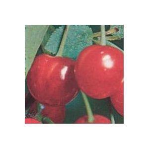 Cerisier Anglaise hâtive : taille en gobelet ()