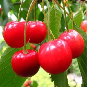 Cerisier Royale: taille en gobelet