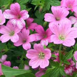 Geranium endressii – Lot de 3 godets de 7 cm