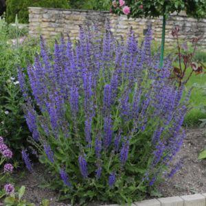 Salvia superba reine des bleues – Lot de 3 godets de 7 cm