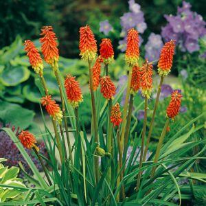 Kniphofia uvaria grandiflora – Lot de 3 godets de 7 cm