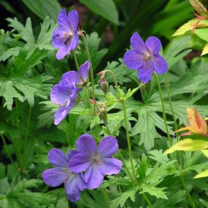 Geranium johnson's blue – Lot de 3 godets de 7 cm