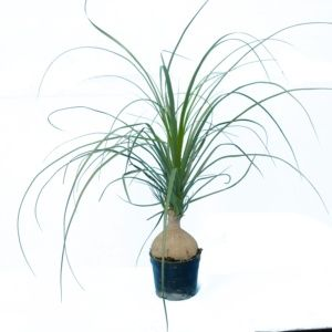 Beaucarnea (Beaucarnea tronc)