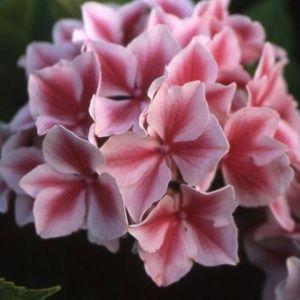 Hortensia 'Lady Nobuko'  (Hydrangea macrophylla 'Lady Nobuko')