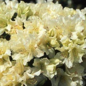 Rhododendron nain 'Patty Bee'