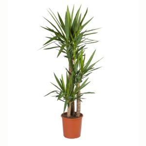 Yucca 3 cannes- En pot de 21cm , hauteur 100cm
