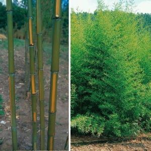 Bambou en pot (5 litres) – Phyllostachys aurea 'Flavescens inversa' – PLANTES ET JARDINS – Jardinerie en ligne