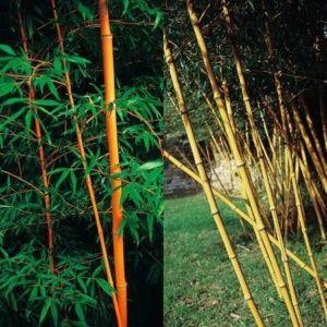 Bambou géant – Phyllostachys 'Holochrysa' – En pot (15 litres) – hauteur 200/250 cm – PLANTES ET JARDINS – Jardinerie en ligne