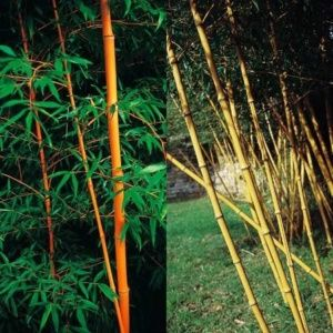 Bambou géant – Phyllostachys 'Holochrysa'- En pot (30 litres) – hauteur 250/300 cm – PLANTES ET JARDINS – Jardinerie en ligne