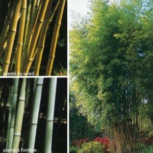 Bambou Phyllostachys nigra 'Henonis'