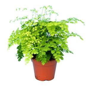 Adiantum fragrans – Plante verte d'intérieur – Hauteur totale 30/35 cm – PLANTES ET JARDINS – Jardinerie en ligne