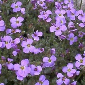 Aubriète 'Royal Bleu' – Lot de 3 plants en godets – PLANTES ET JARDINS – Jardinerie en ligne