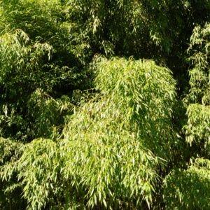 Bambou en pot (7 litres) – Phyllostachys flexuosa – hauteur 100/150 cm – PLANTES ET JARDINS – Jardinerie en ligne